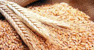 باحثة من كلية الآداب تجري دراسة عن انتاج القمح والشعير في النجف الأشرف