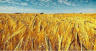 حلقة نقاشية في كلية الآداب عن أثر المناخ بزراعة القمح في النجف الاشرف